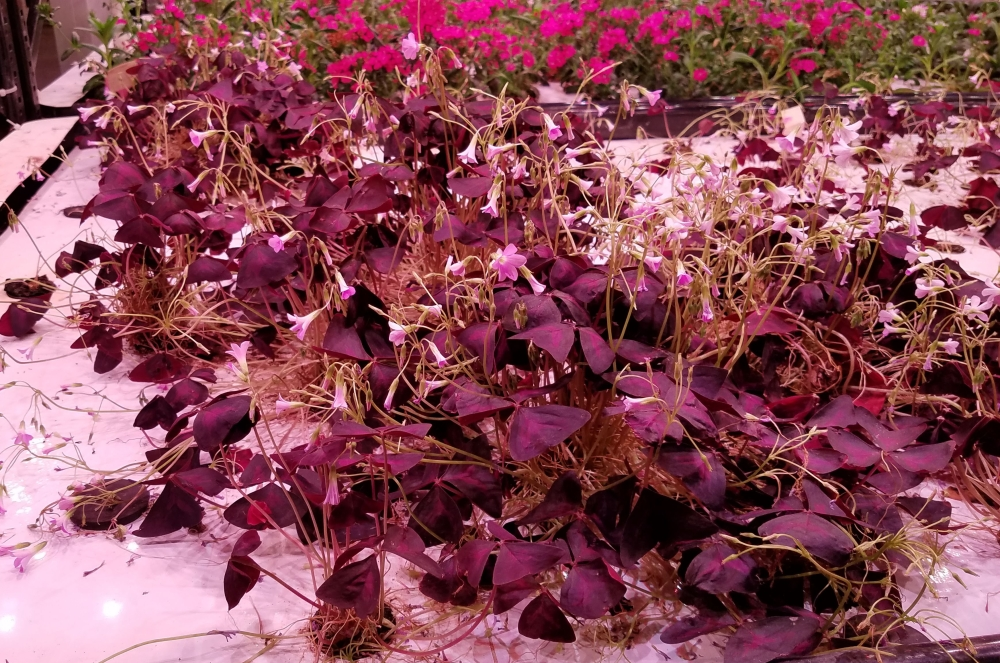 Farm.One Purple Oxalis