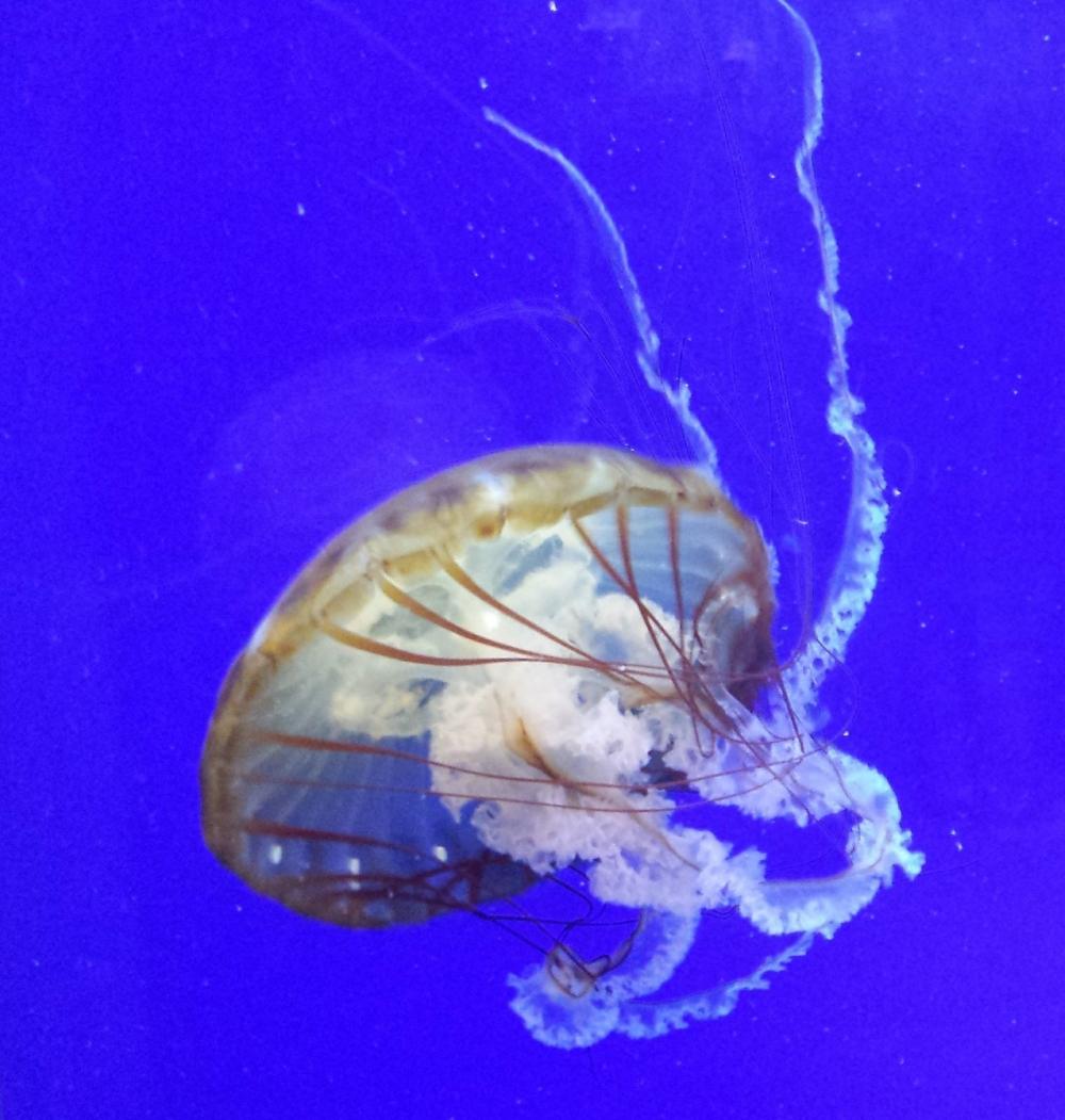 Oregon Coast Aquarium Jellyfish