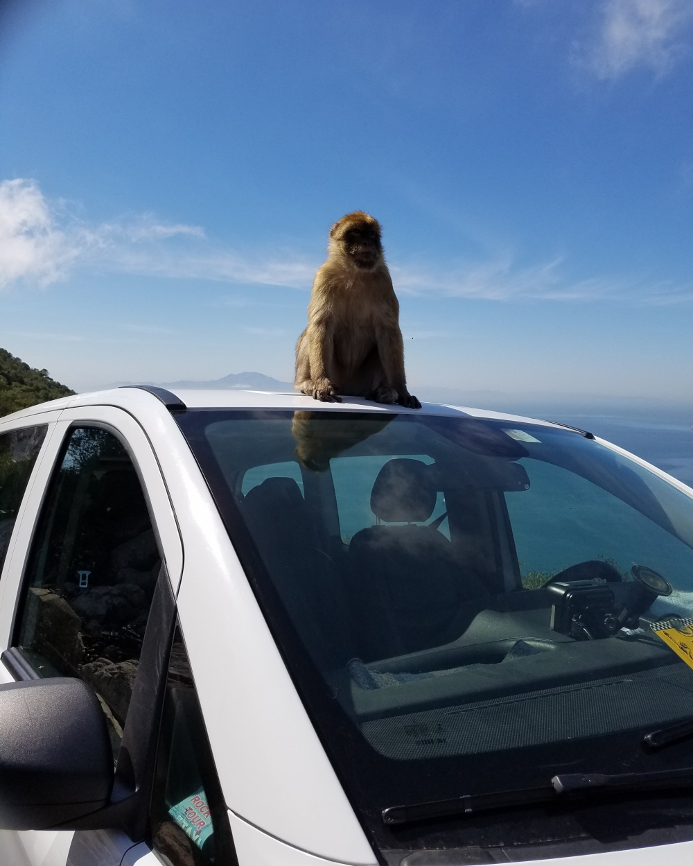 Gibraltar Barbary Macaque On Van