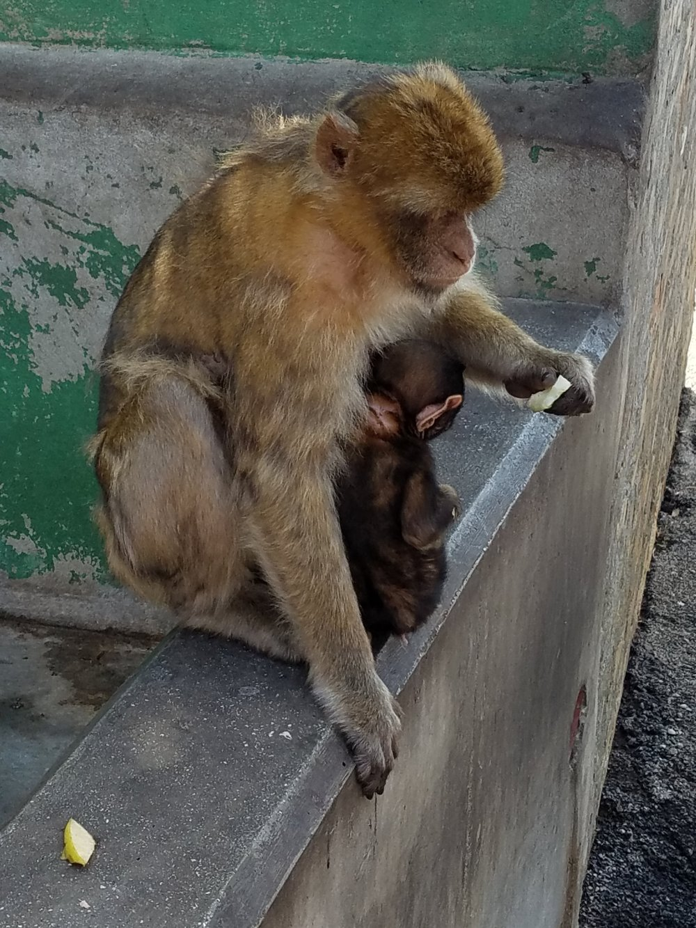 Gibraltar Barbary Macaques Mother and Baby